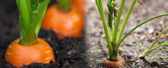 cultivar-zanahorias